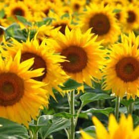 夏のプレゼントにおすすめの花 ひまわり